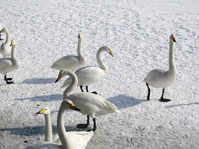 高松の池に飛来している白鳥